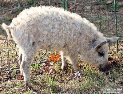 Mangalista Cross Pigs! Spotted & Fuzzy!