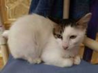 Adopt Tripp a White Domestic Mediumhair / Domestic Shorthair / Mixed cat in