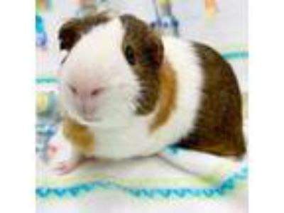 Adopt Kirby -- Bonded Buddies With Remi a Guinea Pig