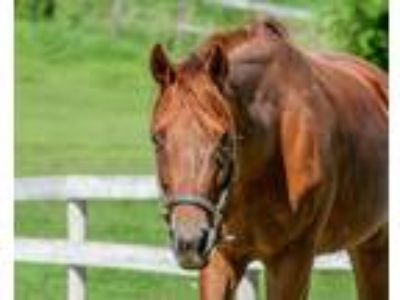 Adopt Libby a Chestnut/Sorrel Quarterhorse / Thoroughbred / Mixed horse in