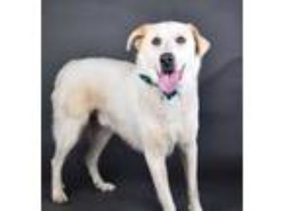 Adopt Milo a White Great Pyrenees / Anatolian Shepherd / Mixed dog in Irving