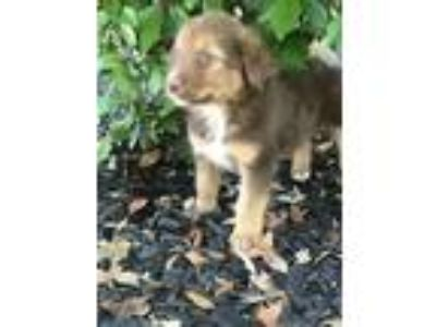Adopt Maverick a Golden Retriever, Australian Shepherd