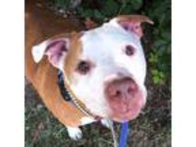 Adopt Trip a Red/Golden/Orange/Chestnut American Pit Bull Terrier / Mixed dog in