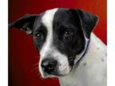 Adopt Jean a Pit Bull Terrier / Mixed dog in LAFAYETTE, LA (25487904)