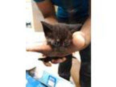 Adopt KITTY 2 a All Black Domestic Shorthair / Domestic Shorthair / Mixed cat in
