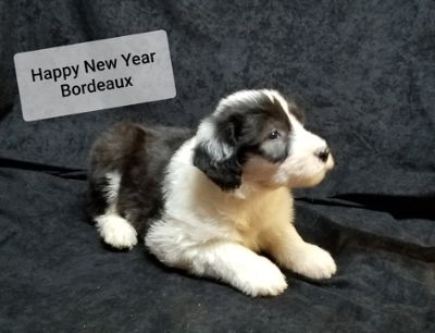 Old English Sheepdog PUPPY FOR SALE ADN-111988 - male Old English Sheepdog puppy