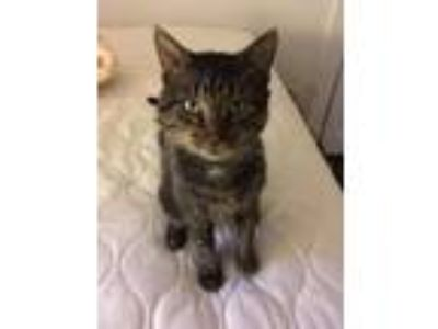 Adopt Pip a Gray, Blue or Silver Tabby American Shorthair / Mixed cat in