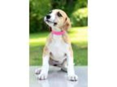 Adopt Josie a Tan/Yellow/Fawn - with White Hound (Unknown Type) / Mixed dog in