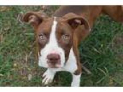 Adopt BRANDY a Brown/Chocolate - with White American Pit Bull Terrier / Mixed