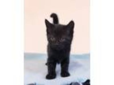 Adopt Sophia a All Black Domestic Shorthair (short coat) cat in Albion