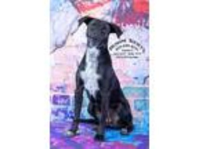 Adopt Riska / AC 19405 E a Border Collie / Labrador Retriever / Mixed dog in