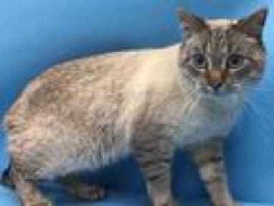 Adopt 41956882 a Cream or Ivory Siamese / Domestic Shorthair / Mixed cat in Coon