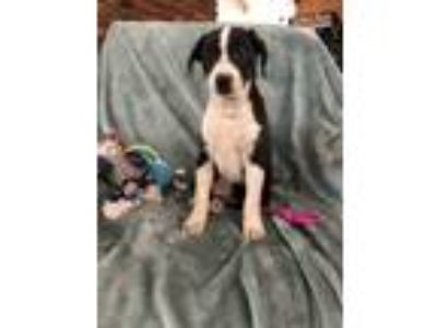 Adopt Rhubarb a Black - with White Labrador Retriever / Border Collie / Mixed