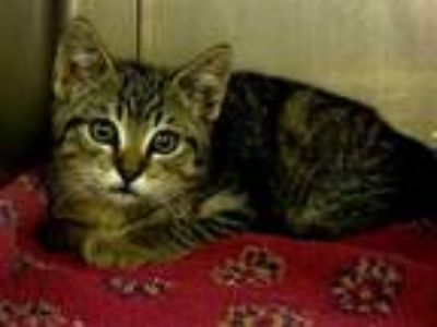 Adopt *MUSTANG a Brown Tabby Domestic Shorthair / Mixed (short coat) cat in