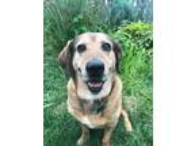 Adopt Gertie a Tan/Yellow/Fawn Basset Hound / Labrador Retriever / Mixed dog in