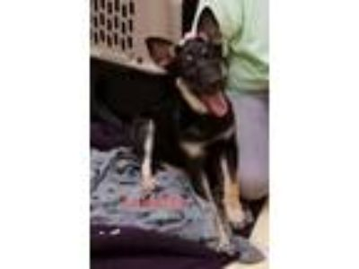 Adopt Julietta a Labrador Retriever, German Shepherd Dog