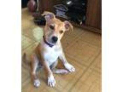 Adopt Puppy Hummingbird a Tan/Yellow/Fawn - with White Terrier (Unknown Type