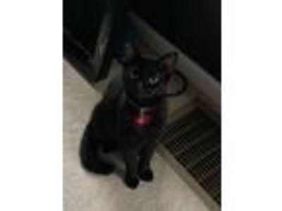 Adopt Sarabi a All Black American Shorthair cat in Jacksonville, FL (25917403)