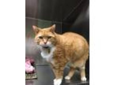 Adopt Missy a Orange or Red Tabby Domestic Shorthair (medium coat) cat in Yukon