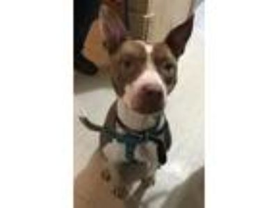 Adopt Muffin a Brown/Chocolate - with White Pit Bull Terrier / Mixed dog in