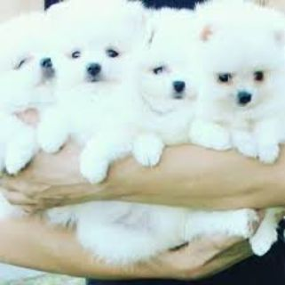Adorable home Pomeranian Puppies/(317) 316-4692