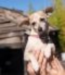 Polly Wants a Home Dachshund - Jack Russell Terrier Dog