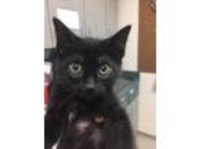 Adopt Veselka a All Black Domestic Longhair / Mixed cat in Oakland