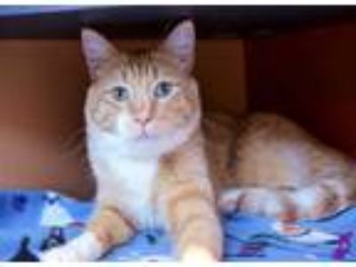 Adopt OMALLEY a Orange or Red Tabby Domestic Shorthair / Mixed (short coat) cat