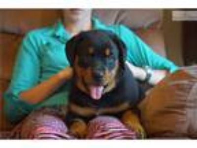 Champ Sired German Rottweiler Puppy Female Jewel
