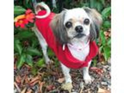 Adopt DOLLY a White - with Brown or Chocolate Shih Tzu / Mixed dog in BELL