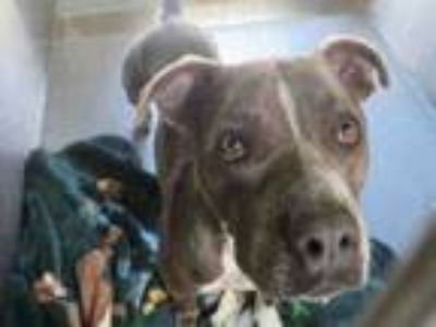 Adopt WILMA a Pit Bull Terrier