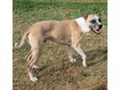 Adopt Joker Jack a Tan/Yellow/Fawn - with White Boxer / Mixed dog in Euless