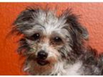 Adopt Henry a Poodle