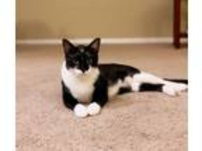 Adopt OliverCP a Black & White or Tuxedo Domestic Shorthair (short coat) cat in
