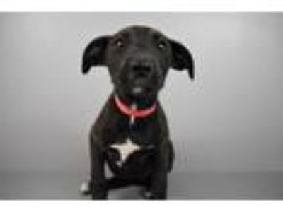 Adopt Julia a Plott Hound, Black Mouth Cur