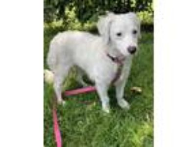 Adopt Precious a White Spaniel (Unknown Type) / Mixed dog in Costa Mesa
