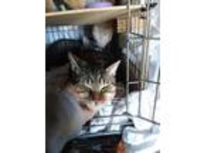 Adopt Peppermint a Tiger Striped Domestic Shorthair (short coat) cat in