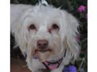 Adopt Venus a White Havanese / Mixed dog in Atlanta, GA (25311564)
