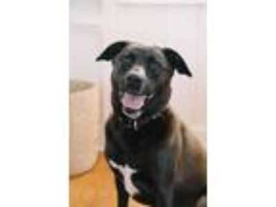 Adopt Pepper a Black - with White Labrador Retriever / Shepherd (Unknown Type) /