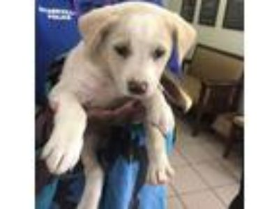 Adopt Thor a White - with Tan, Yellow or Fawn Labrador Retriever dog in