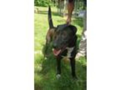 Adopt Peter O' Drool a Black Labrador Retriever / Mixed dog in Amelia