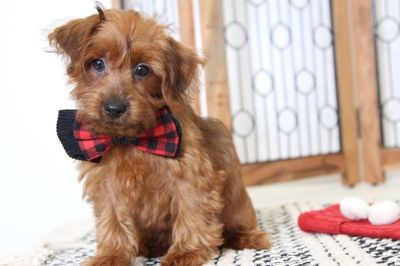 Poodle (Toy)-Yorkshire Terrier Mix PUPPY FOR SALE ADN-104660 - Copper Handsome Yorkiepoo Puppy