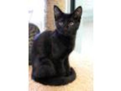 Adopt Swim Suit a All Black Domestic Shorthair / Domestic Shorthair / Mixed cat