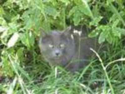 Adopt Summer (Lost cat in 18966) a Russian Blue, Domestic Short Hair