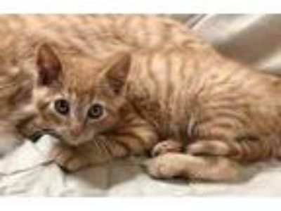 Adopt Daniel a Orange or Red Domestic Shorthair / Domestic Shorthair / Mixed cat