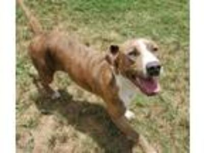 Adopt Riley a Pit Bull Terrier, Mixed Breed