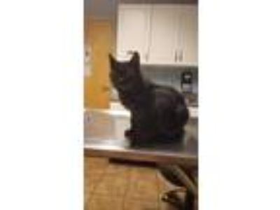 Adopt Sweetie Pie a Black (Mostly) Domestic Longhair (long coat) cat in Albany