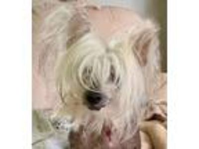 Adopt Dolce a Chinese Crested Dog