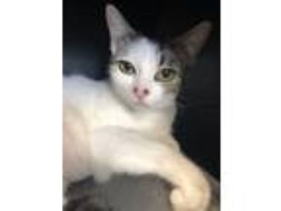 Adopt Dotty a Domestic Short Hair