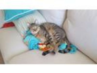 Adopt Arwen and Scar a Gray or Blue (Mostly) American Shorthair / Mixed cat in